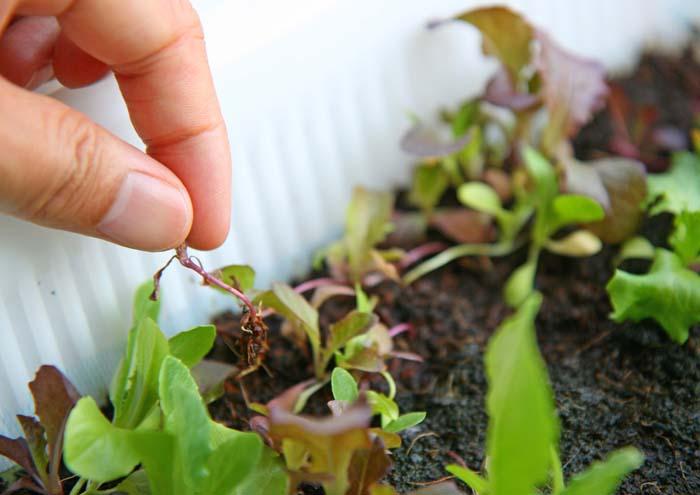 wc2015sp-baby-leaf-grow20