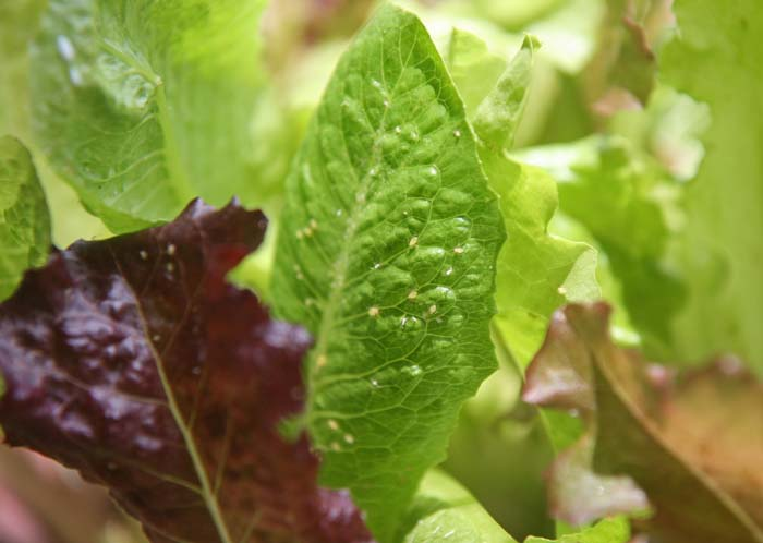 wc2015sp-leaf-letas-aburamusshi10