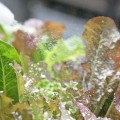 wc2015sp-leaf-letas-aburamusshi12