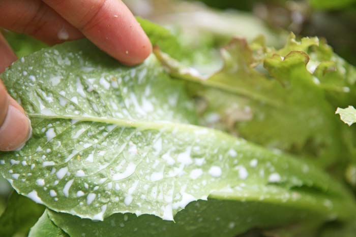 wc2015sp-leaf-letas-aburamusshi15