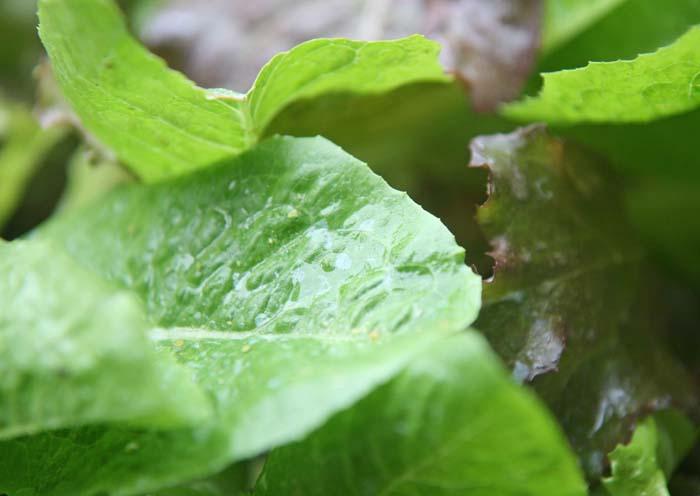 wc2015sp-leaf-letas-aburamusshi23