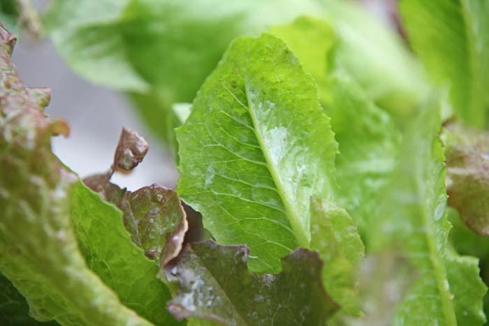 wc2015sp-leaf-letas-aburamusshi24