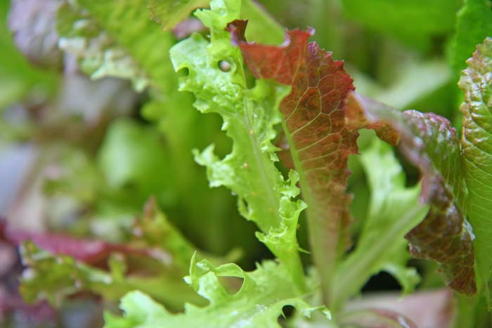 wc2015sp-leaf-letas-aburamusshi26