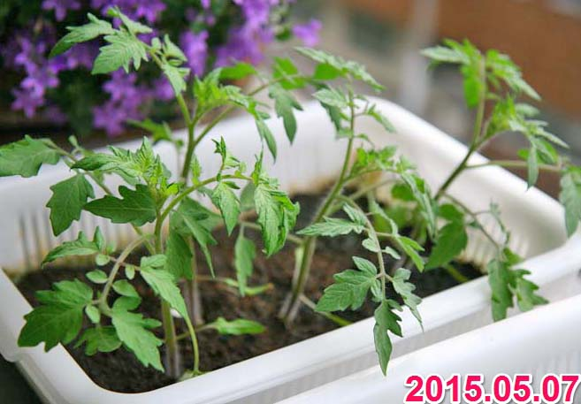 wc2015sp-tomato-grow01a