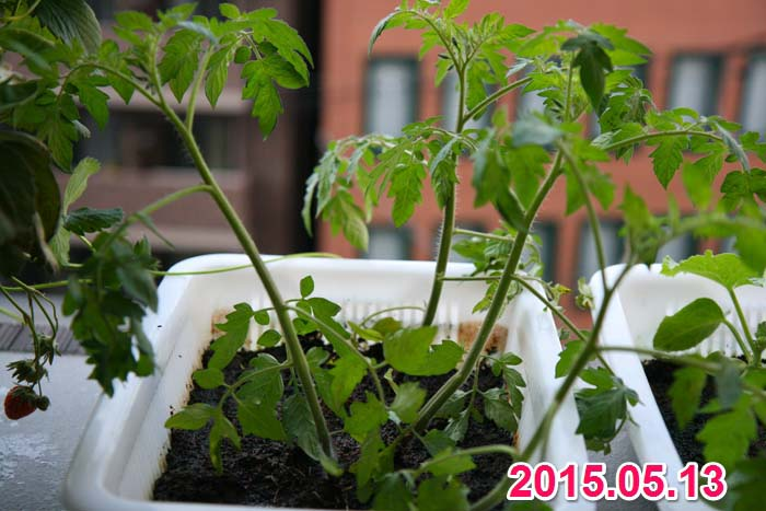wc2015sp-tomato-grow02a