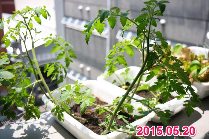 wc2015sp-tomato-grow04a