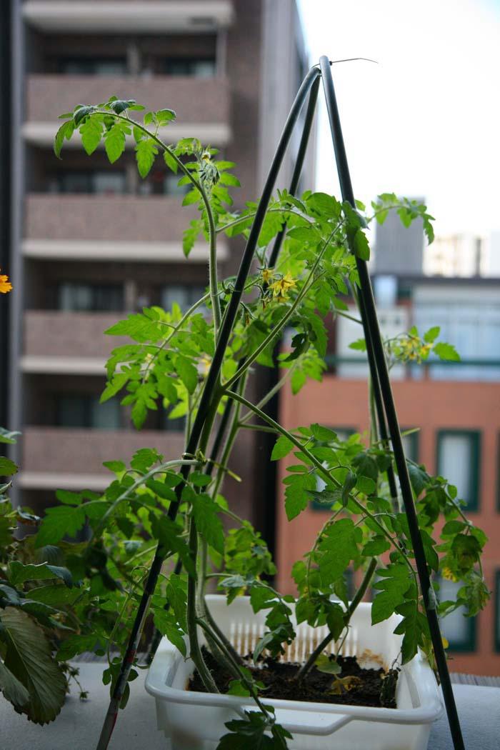 wc2015sp-tomato-grow08