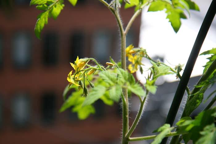 wc2015sp-tomato-grow09