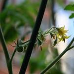 水耕栽培でトマトの実がなったよ!支柱の設置や成長の様子をご紹介!