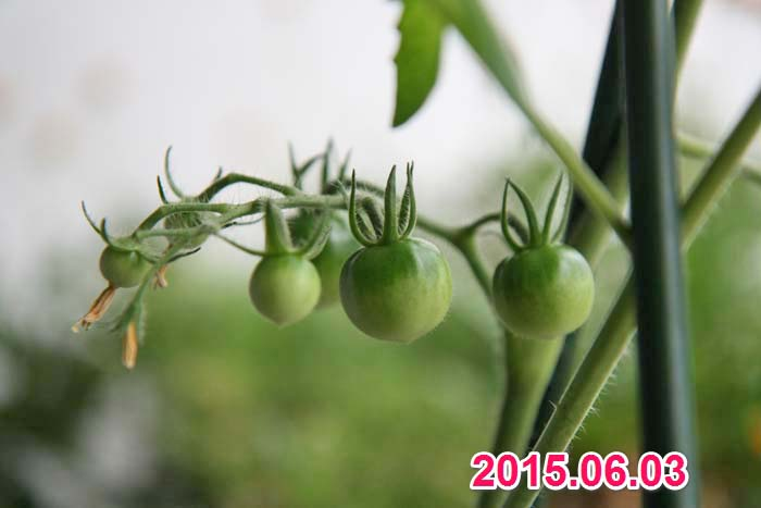 wc2015sp-tomato-grow14a