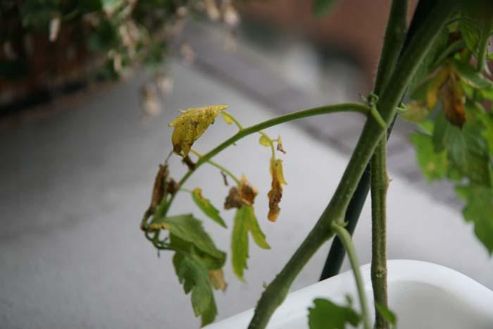 wc2015sp-tomato-grow16