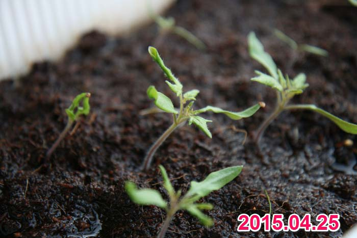 wc2015sp-tomato-grow20