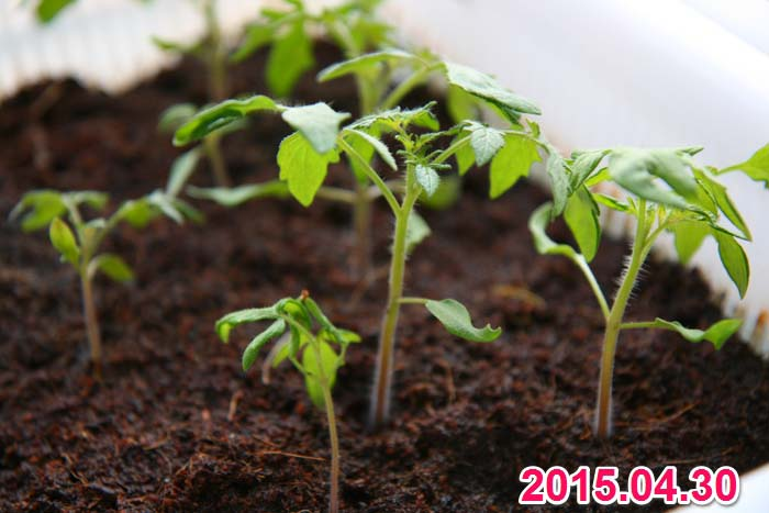 wc2015sp-tomato-grow21a