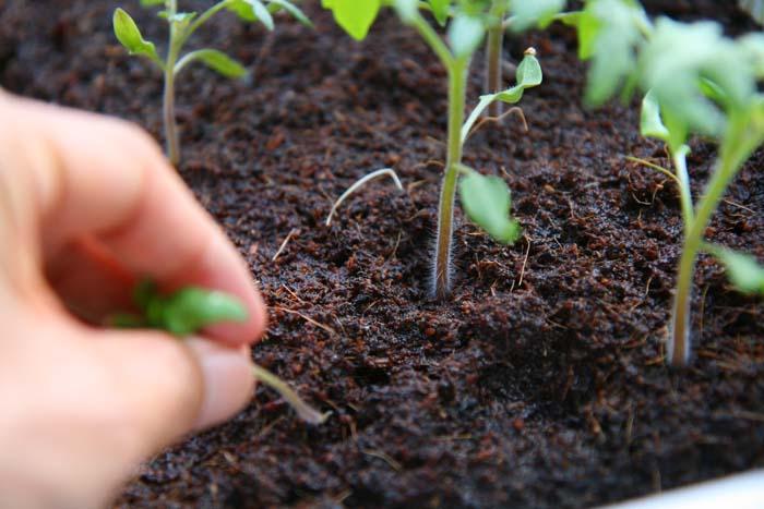 wc2015sp-tomato-grow22