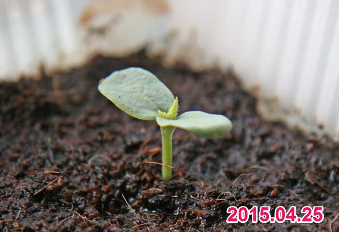 wc2015sp-melon-grow01a
