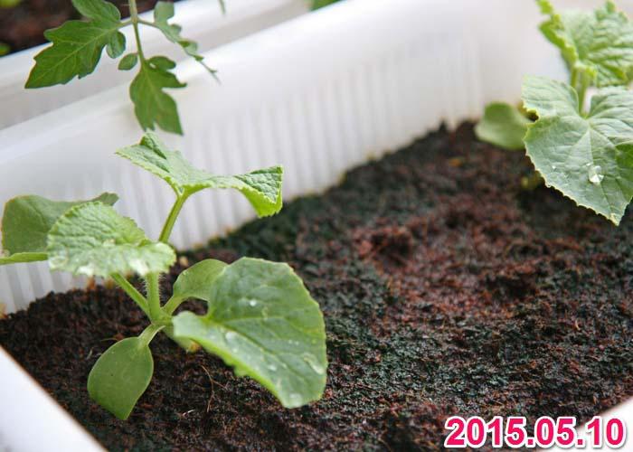 wc2015sp-melon-grow03a