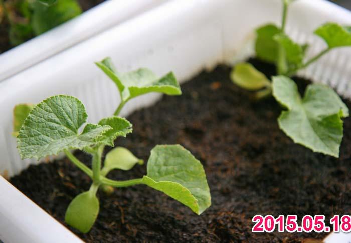 wc2015sp-melon-grow04a