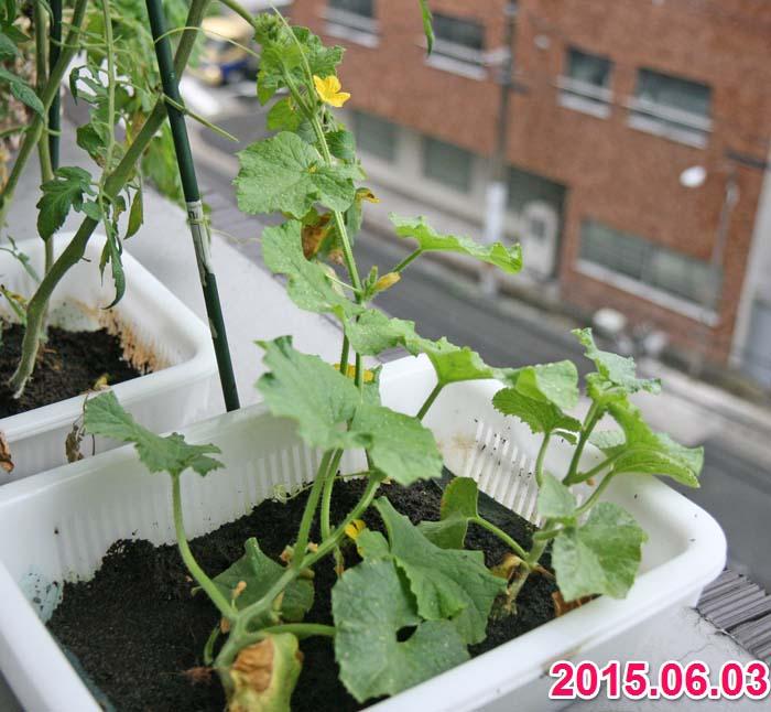 wc2015sp-melon-grow08a