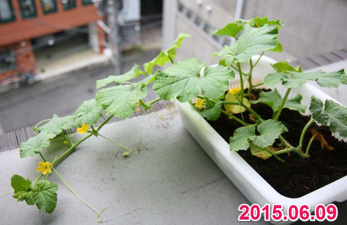 wc2015sp-melon-grow12a