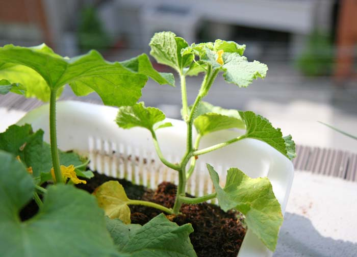 wc2015sp-melon-grow16