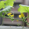 wc2015sp-melon-grow25