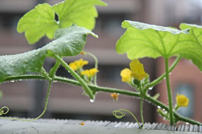 ベランダ菜園でメロンの水耕栽培!成長の様子と雌花の発見編!