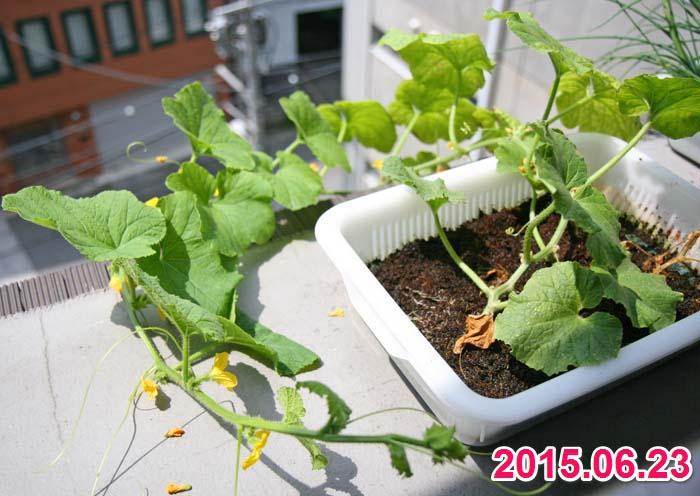 wc2015sp-melon-grow26a