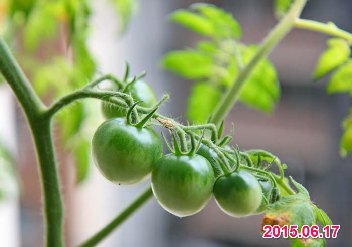 wc2015sp-tomato-havest03a