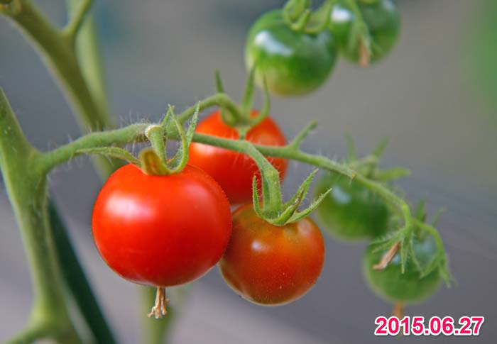wc2015sp-tomato-havest09a