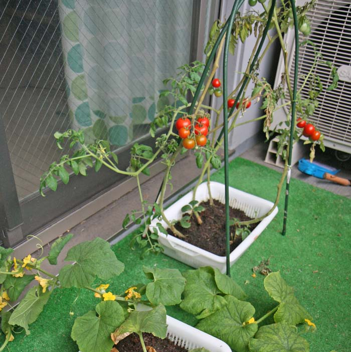 wc2015sp-tomato-havest11
