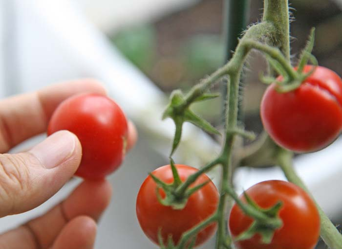 wc2015sp-tomato-havest15