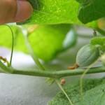 家庭でメロンの水耕栽培!人口受粉してみたら結実したよ!開花から結実編