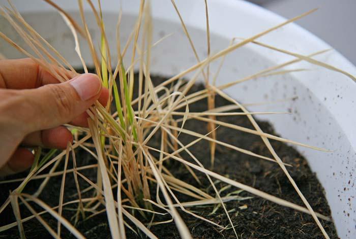 なんでだろう?古代米(黒米)の水耕栽培に大失敗しちゃった!