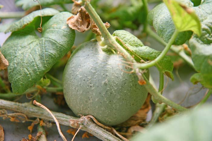 マスクメロンを水耕栽培してみたらかわいいメロンが収穫できたよ!