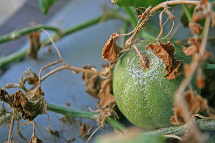wc2015-melon-result30