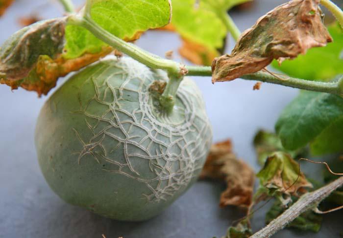 wc2015-melon-result38