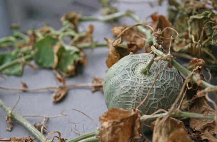 wc2015-melon-result41