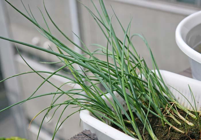 wc2015sp-negi-grow11