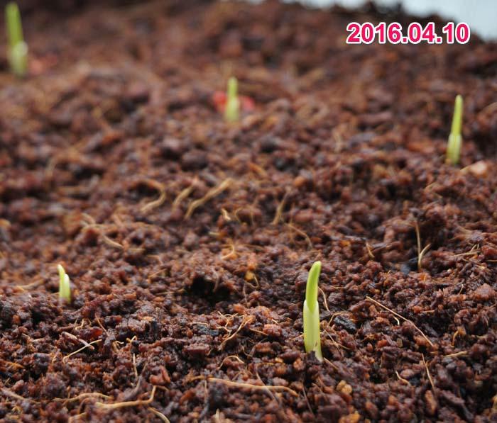 wc2016sp-coan-grow02a