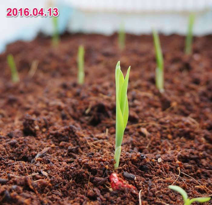 wc2016sp-coan-grow05a