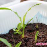 スイートコーンは水耕栽培でも育つの?トウモロコシの栽培結果発表!