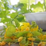 丸くて美しいメロンを育てる受粉の方法を試してみた!ベランダでメロンの水耕栽培!