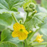 メロンの水耕栽培でレノンとパンナTFの品種別成長比較!