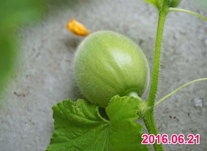 wc2016-melon-fruit-grow14