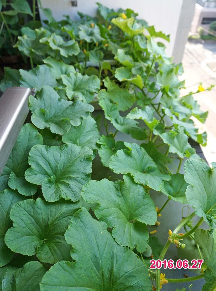 wc2016-melon-fruit-grow16