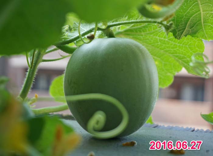 wc2016-melon-fruit-grow18