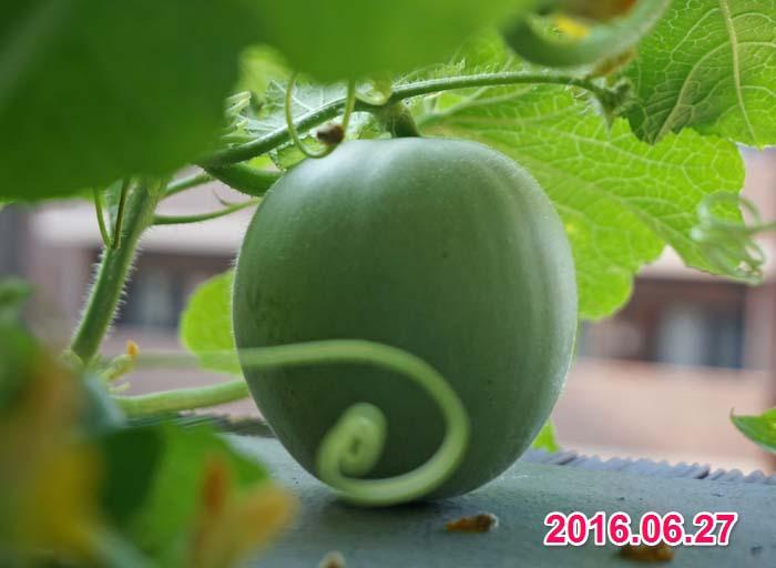wc2016-melon-fruit-grow18