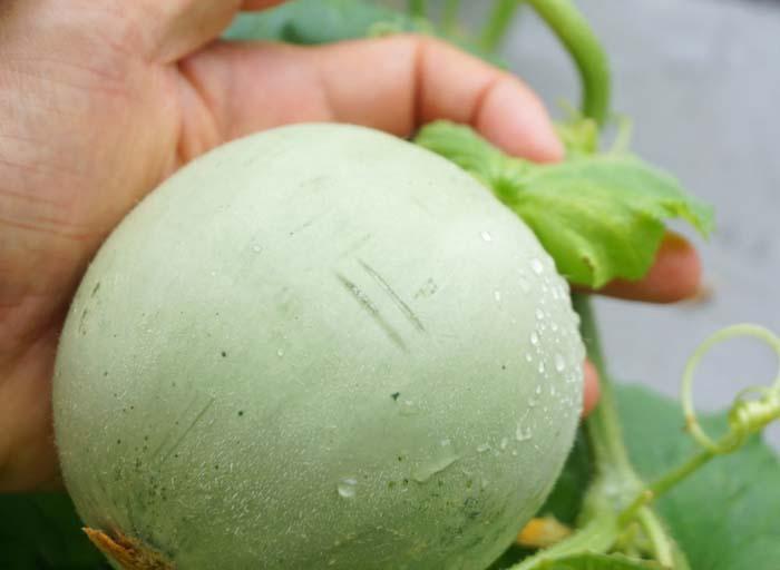 wc2016-melon-fruit-grow19