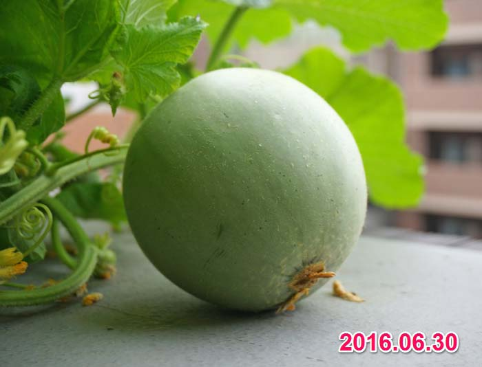 wc2016-melon-fruit-grow23
