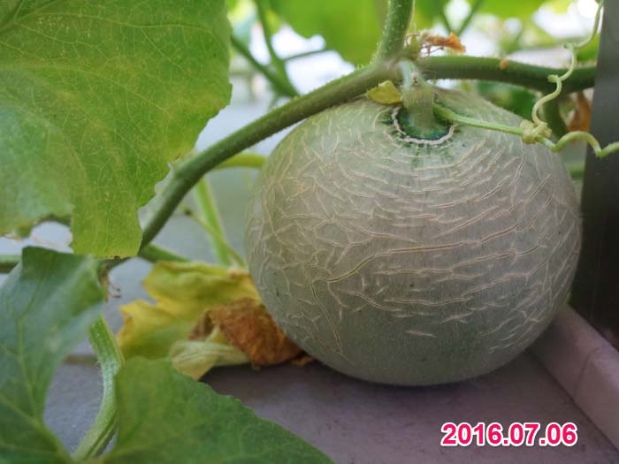 wc2016-melon-fruit-grow26